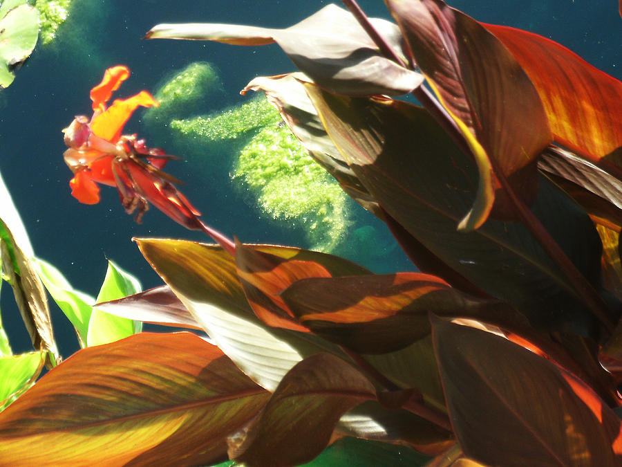 Flower Photograph - Canna Lily And Water In San Angelo Civic League Park by Louis Nugent