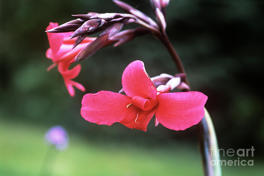 Canna X Ehemanii Photograph - Canna Lily (canna X Ehemanii) by Adrian Thomas