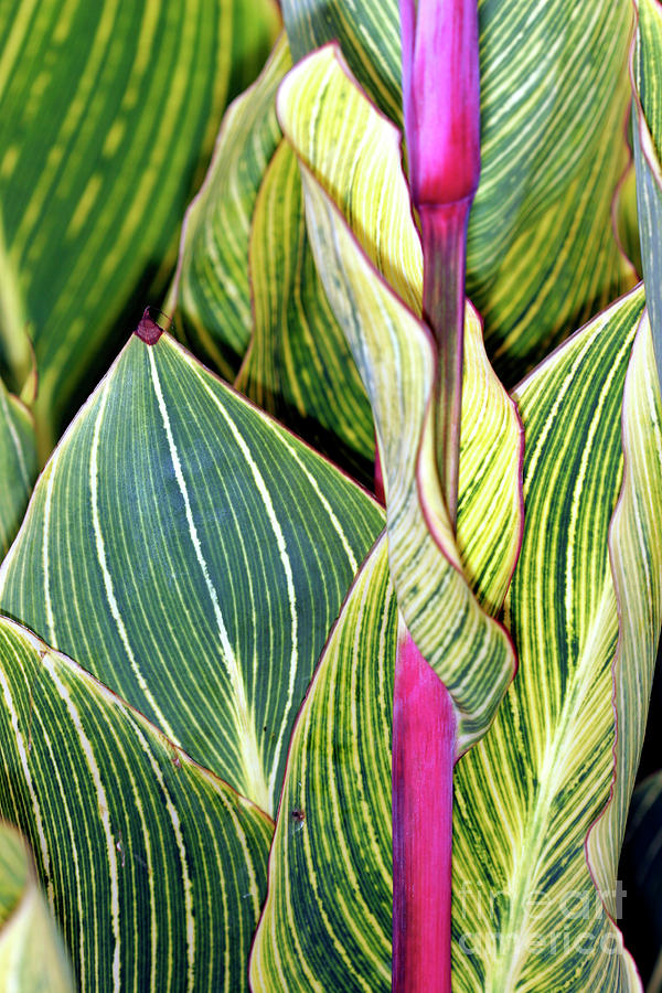 Canna Lily Photograph - Canna Lily Foliage by Dr Keith Wheeler