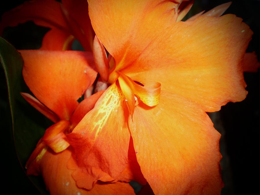 Canna Lily Photograph - Canna Lily queen Charlotte by D J Larsen