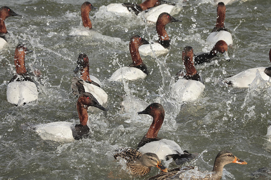 Cambridge Photograph - Canvasback Ducks In A Feeding Frenzy by George Grall