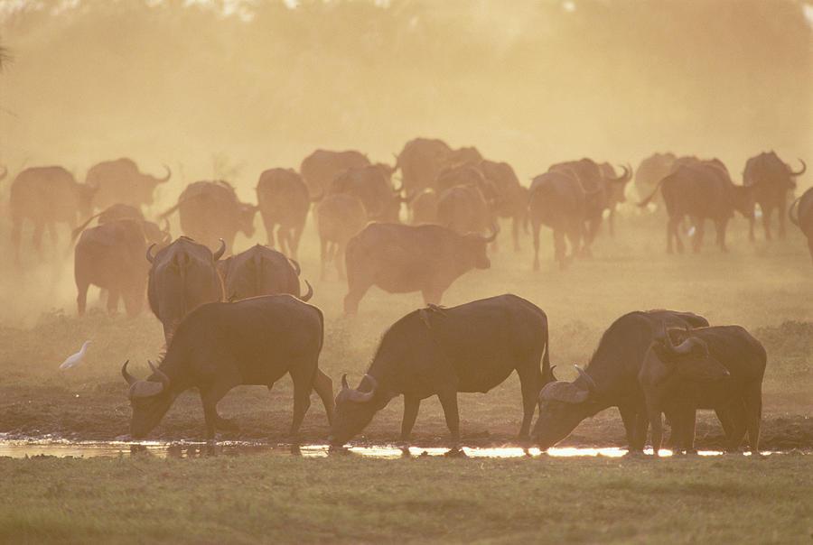 Cape Buffalo Syncerus Caffer Herd Photograph by Gerry Ellis