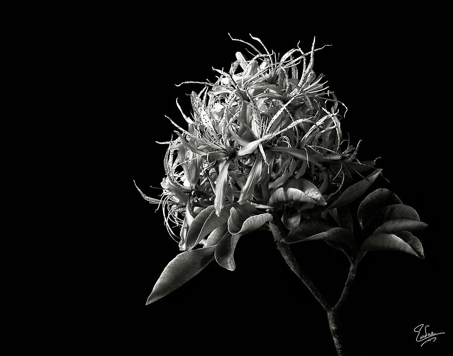 Flower Photograph - Cape Chestnut In Black And White by Endre Balogh