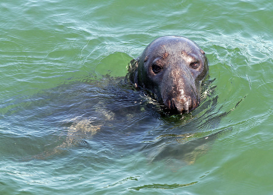 Seal Photograph - Cape Cod Harbor Seal by Juergen Roth