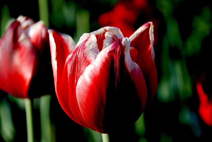Capital Tulip Photograph by Christy Phillips