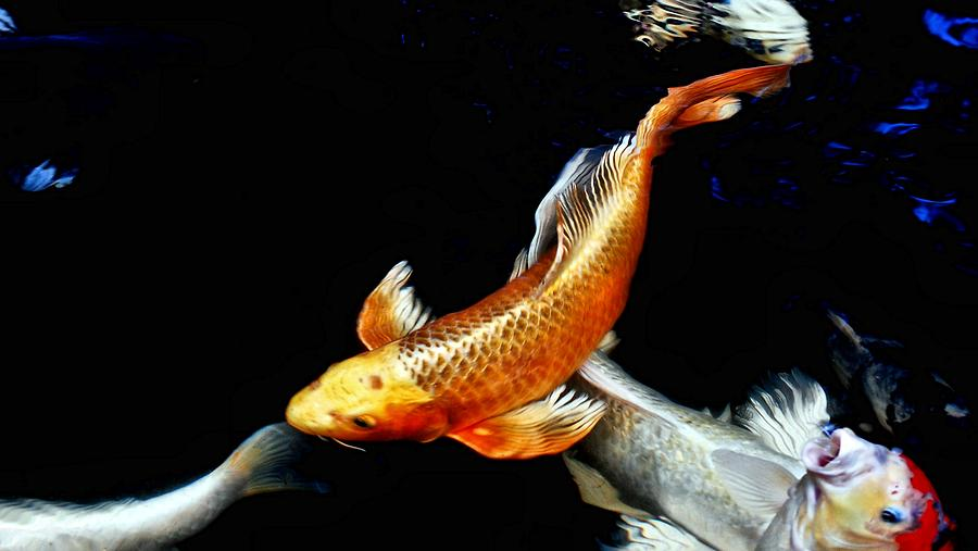 Koi Photograph - Captain Koi by Don Mann