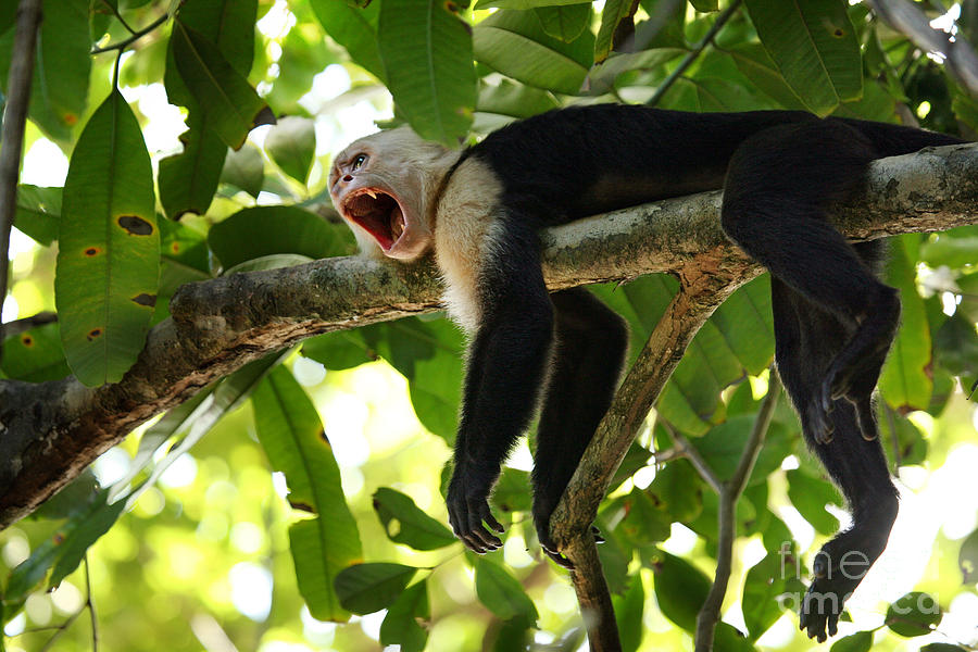 Capuchin Monkey Photograph - Capuchin Monkey by Matt Tilghman