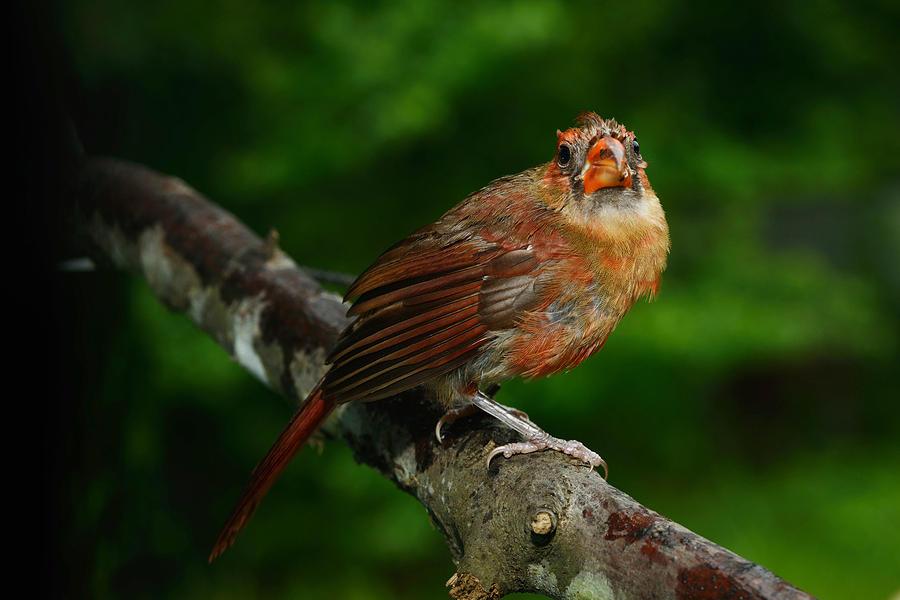 Bird Photograph - Cardinal by Bourbon  Street