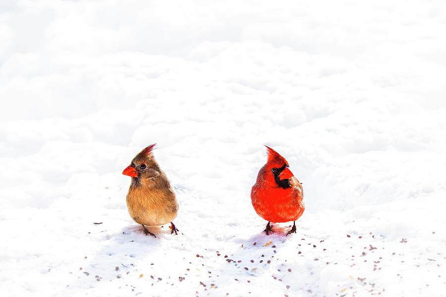 Cardinals Photograph - Cardinal Couple II by Tamyra Ayles