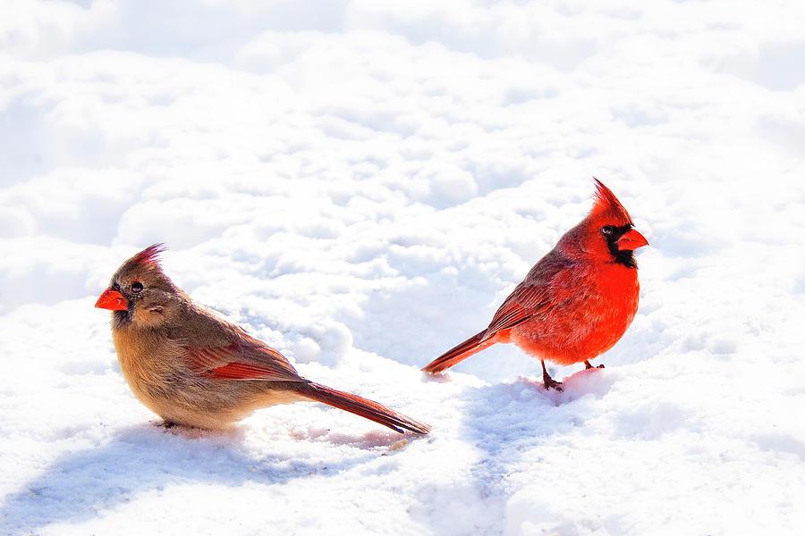 Snow Photograph - Cardinal Couple by Tamyra Ayles