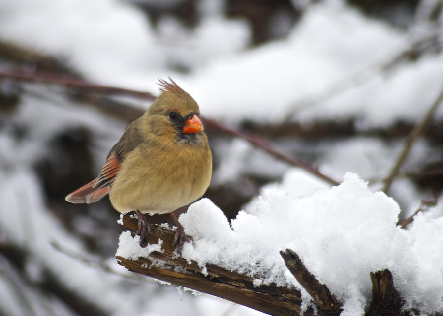 Adult Photograph - Cardinal Female 3679 by Michael Peychich