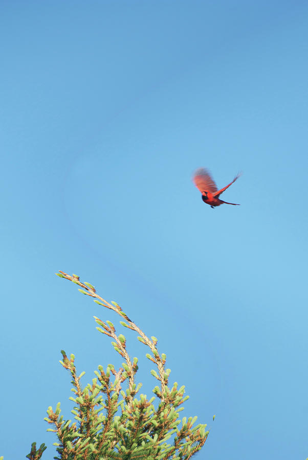Animals Photograph - Cardinal In Full Flight Digital Art by Thomas Woolworth