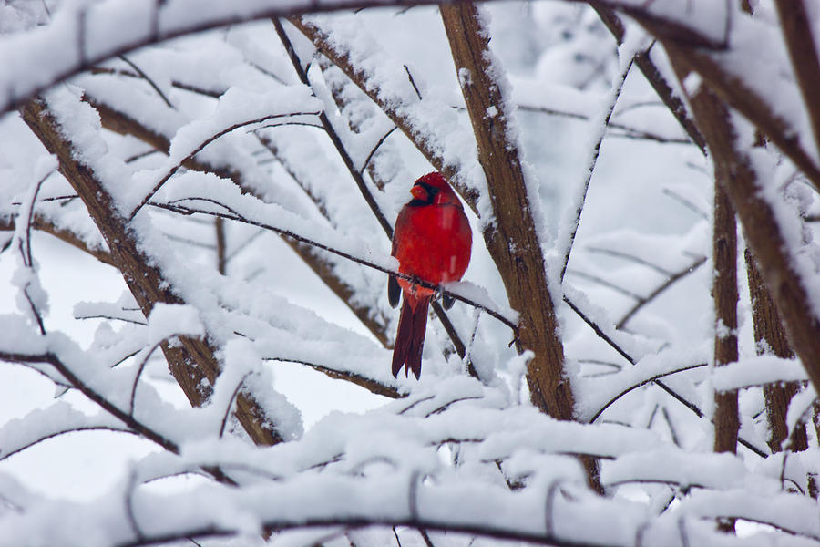 Cardinal Photograph - Cardinal In The Snow 2 by Barry Jones