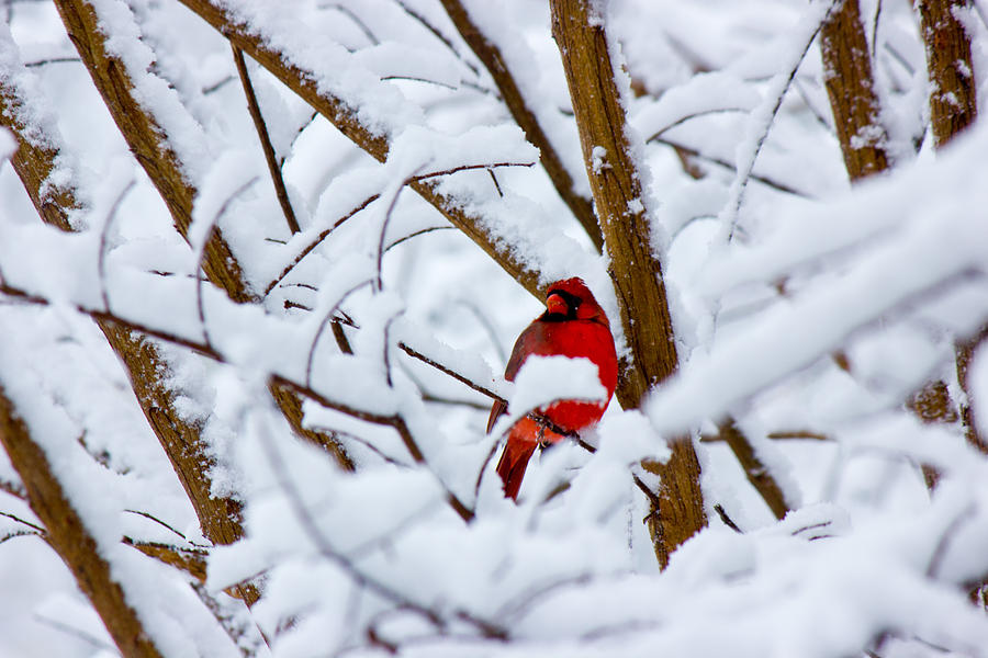 Cardinal Photograph - Cardinal In The Snow by Barry Jones