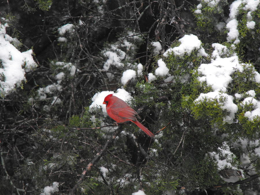 Cardinal In The Cedar Tree That Is Snow Covered Photograph - Cardinal In The Snow by Rebecca Cearley