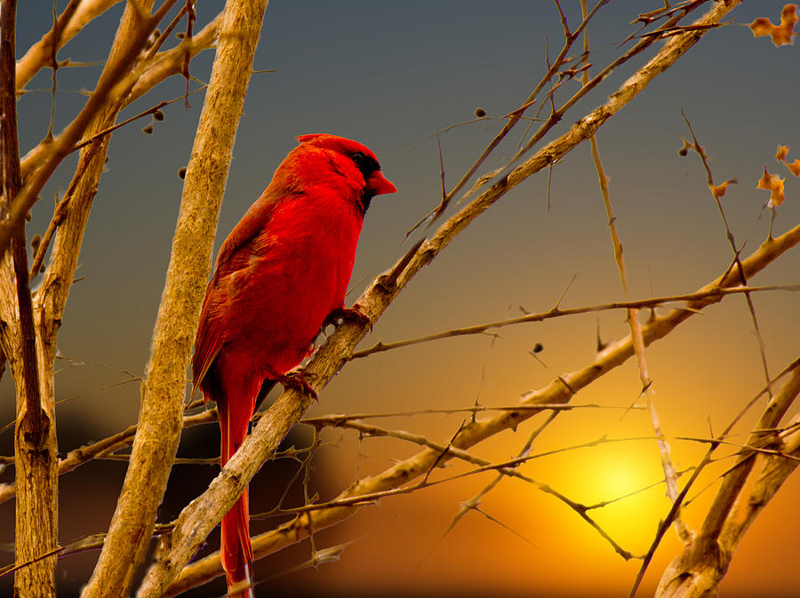 Cardinal Photograph - Cardinal Sunrise by Barry Jones