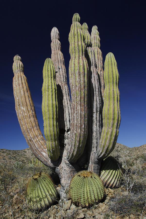 cardon pachycereus pringlei cactus photograph by hiroya