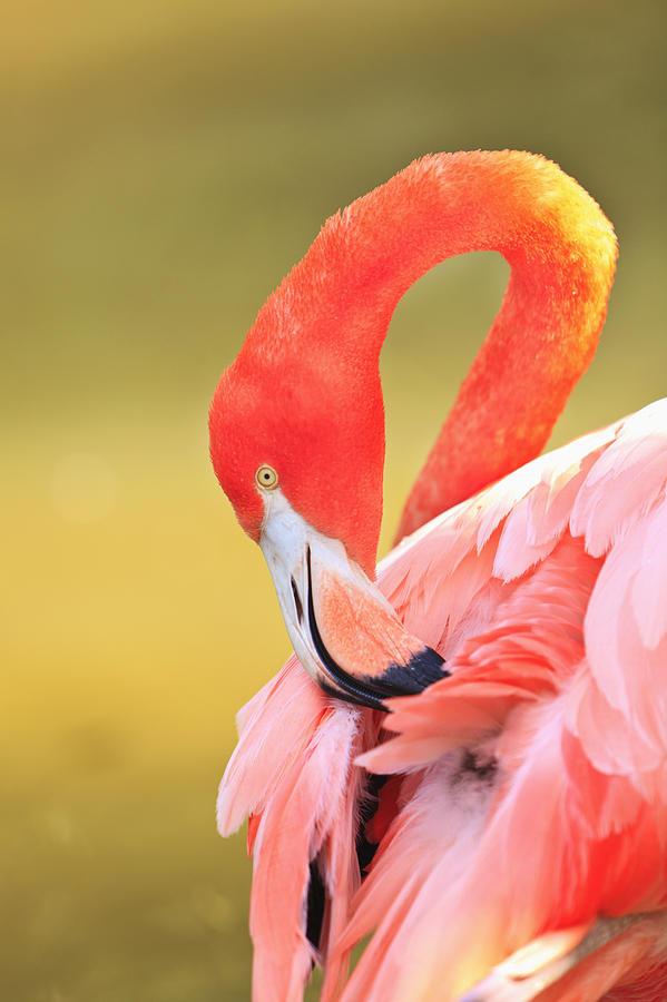 Aves Photograph - Caribbean Flamingo Phoenicopterus Rube by Stuart Westmorland