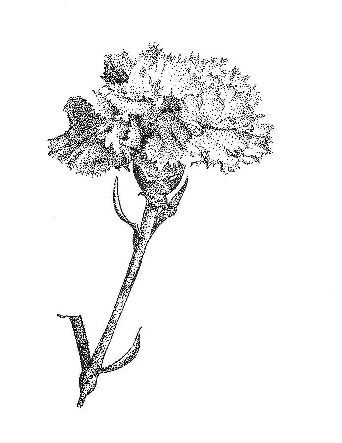 Carnation Drawing By Christy Beckwith
