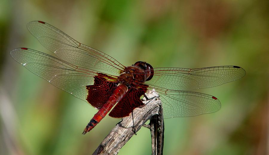 Dragonflies Photograph - Caroina Saddlebags Male by Bruce W Krucke
