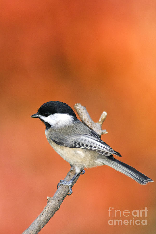 Carolina Chickadee - D007812 Photograph by Daniel Dempster