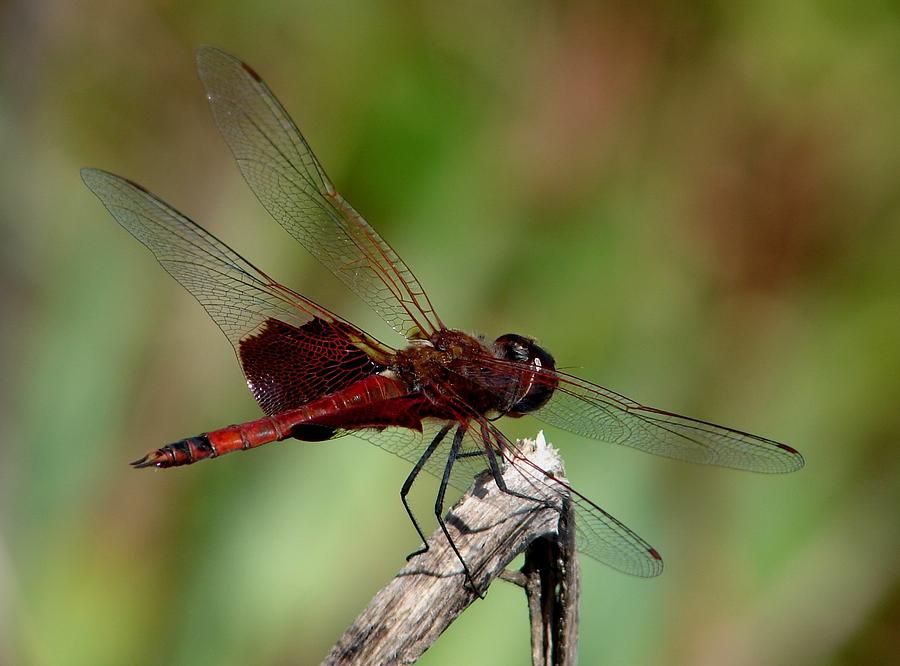 Dragonflies Photograph - Carolina Saddlebags by Bruce W Krucke