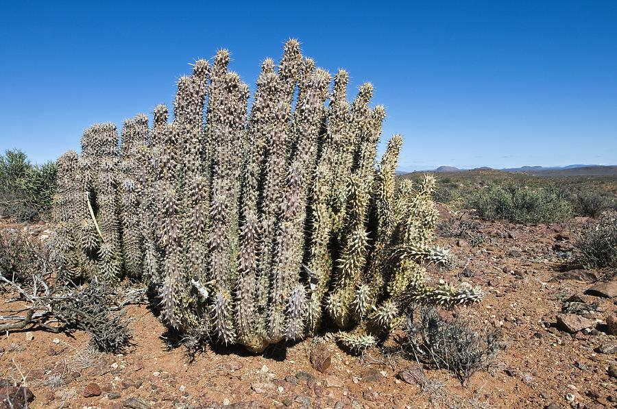 Hoodia Photograph - Carrion Plant by Peter Chadwick