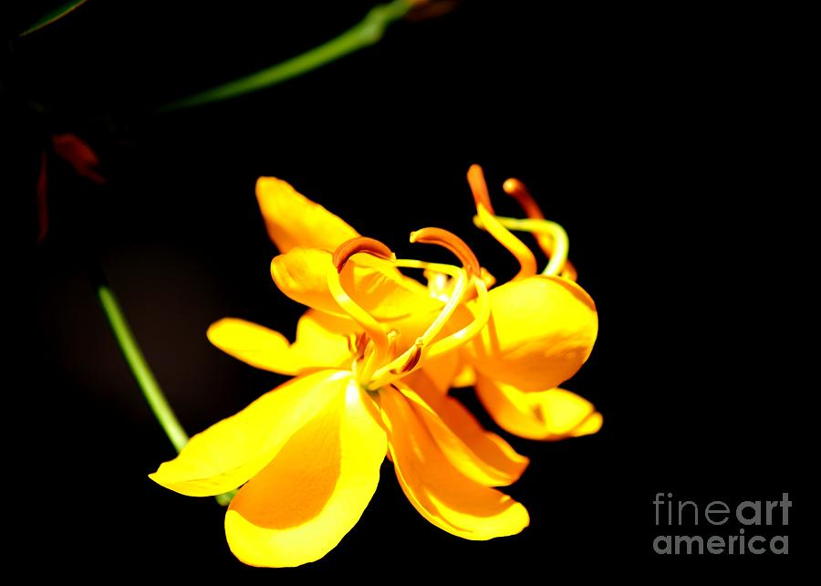 Yellow Flowers Photograph - Cassia Blossom by Theresa Willingham