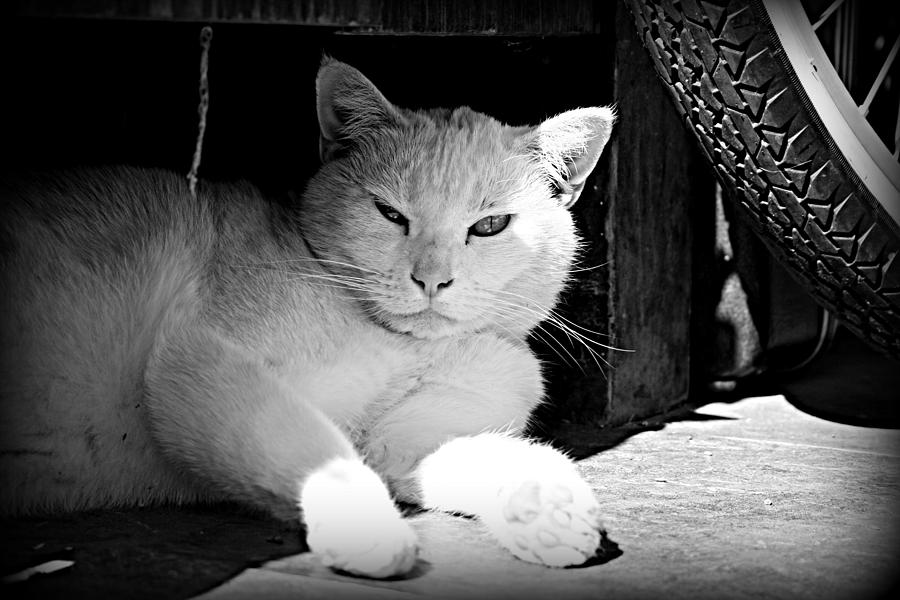 Cat Photograph - White Cat by Alma Yamazaki