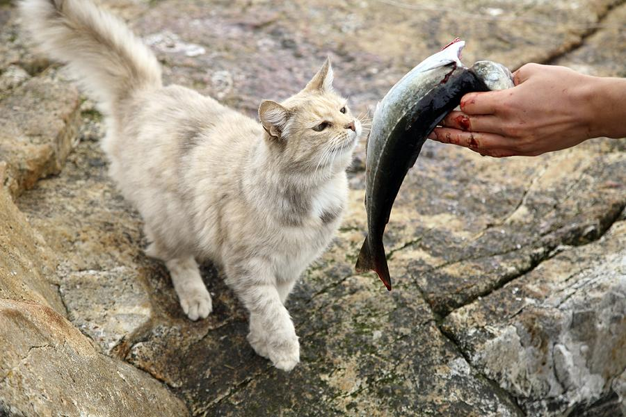 Animal Photograph - Cat Being Fed A Fish by Bjorn Svensson