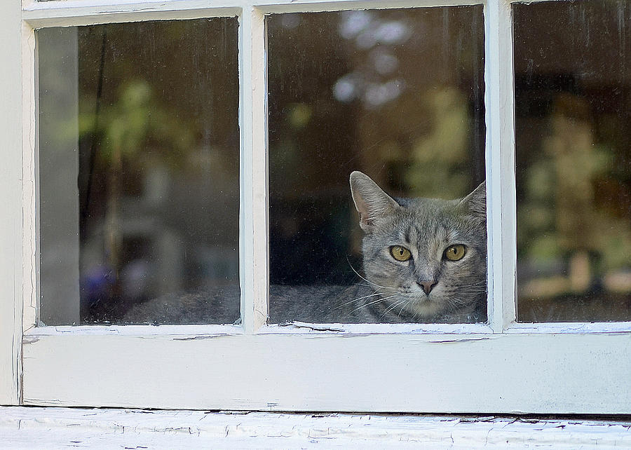 Animals Photograph - Cat In The Window by Lisa Phillips