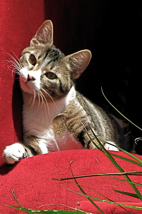 Cat Photograph - Cat On Red by Inga Smith