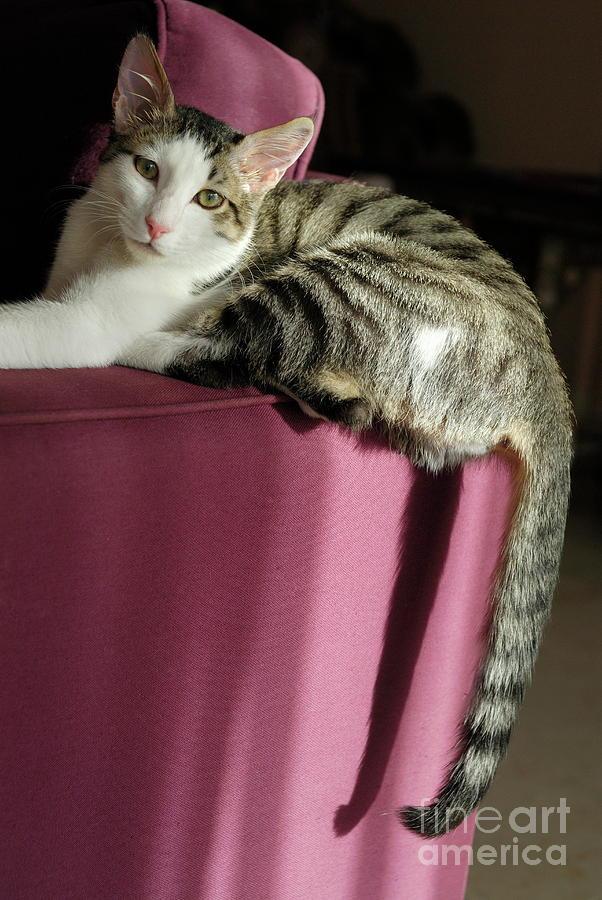 Animal Photograph - Cat On Sofa by Sami Sarkis