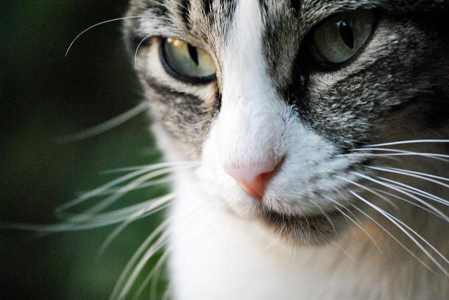 Horizontal Photograph - Cat Portrait by Julia Williams