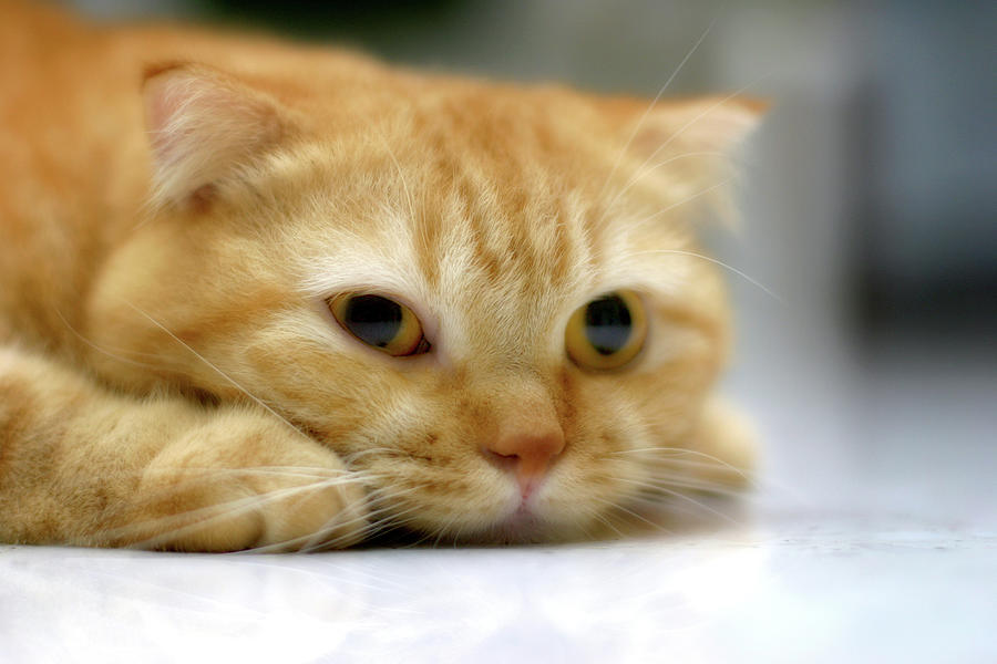 Horizontal Photograph - Cat Resting On His Chin by LeoCH Studio