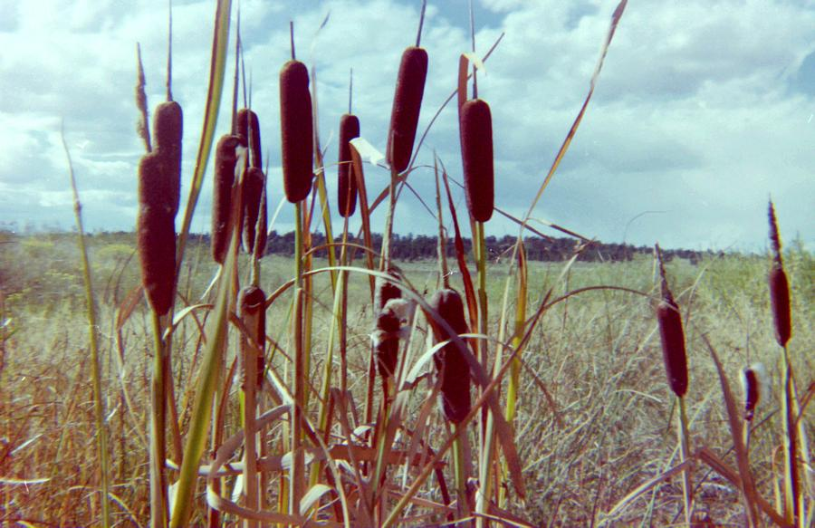 Cattails Photograph - Cat Tails by Bonfire Photography