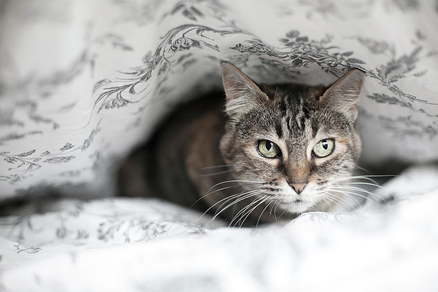 Horizontal Photograph - Cat Under In Blankets by Image taken by Mayte Torres