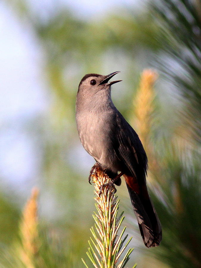 Catbird Photograph - Catbird In Pine by Travis Truelove