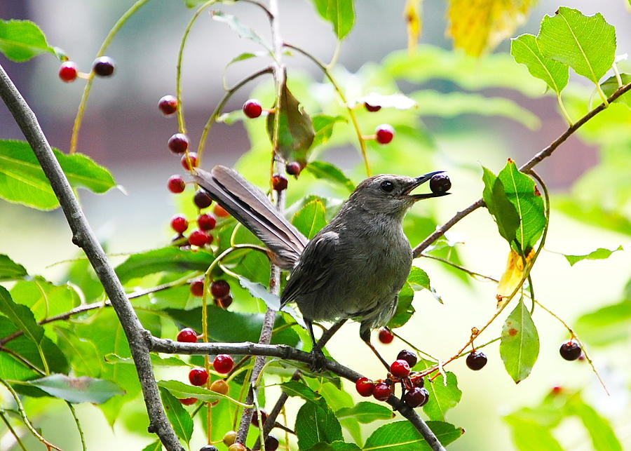 Catbird with Berry III by Mary McAvoy