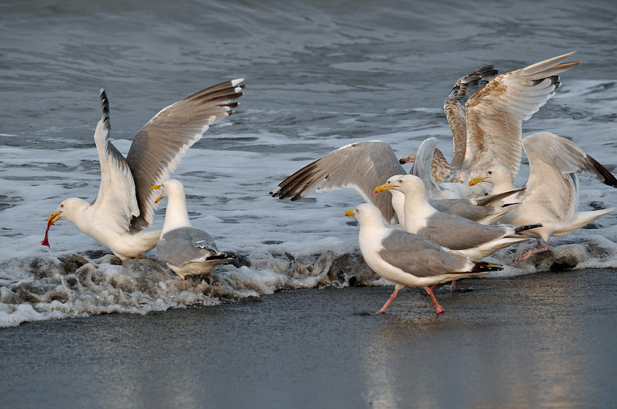 Seagulls Photograph - Catch Me If You Can  by Debra  Miller