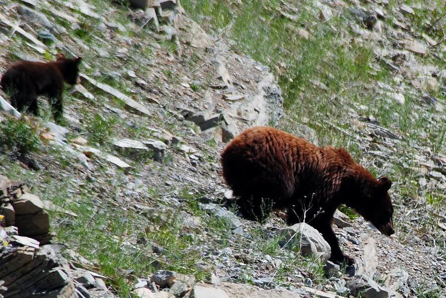 Bear Photograph - Catch Up by Abe Lamberts