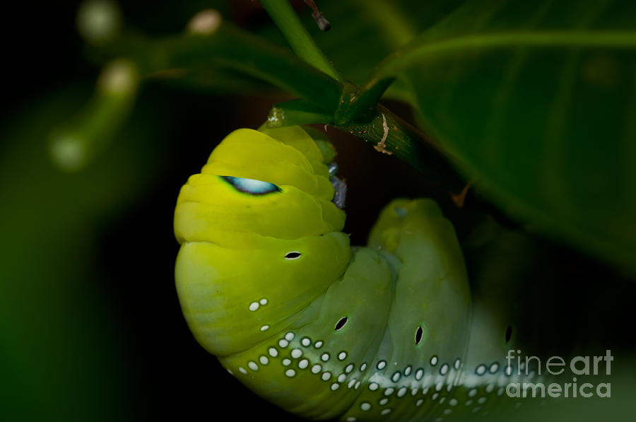 Nature Photograph - Caterpillar  by Venura Herath