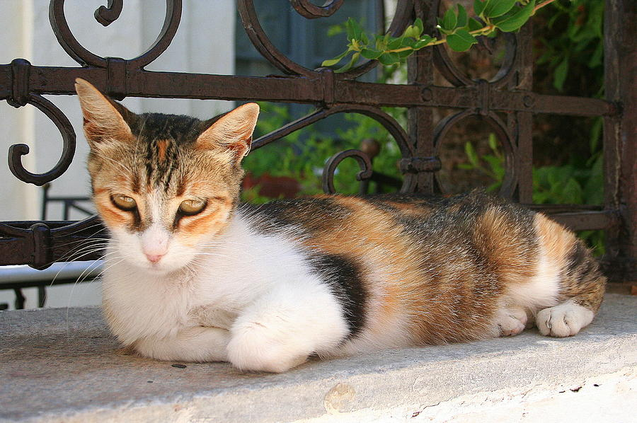 Cat Photograph - Cats Rule Even In Santorini by Laurel Talabere