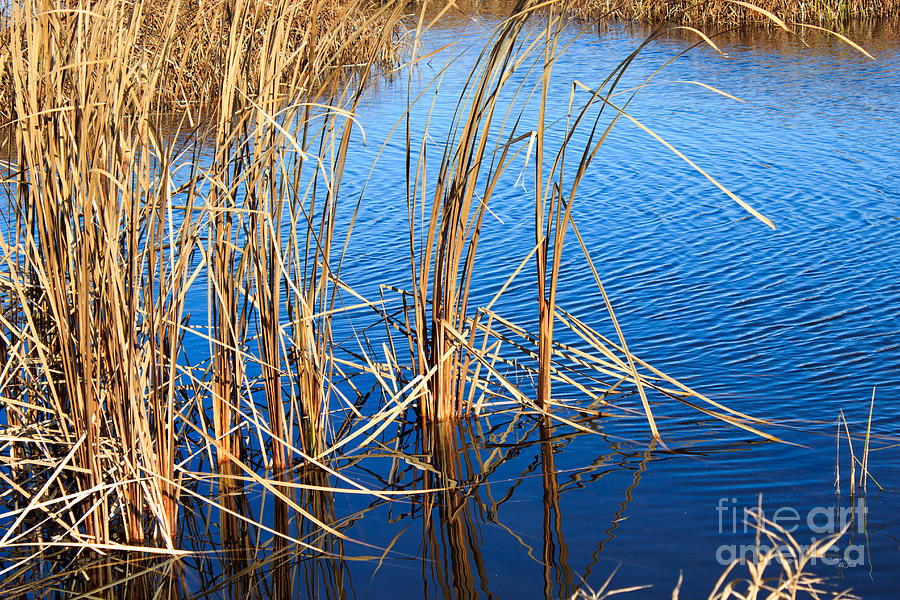 Autumn Photograph - Cattail Reeds by Ms Judi