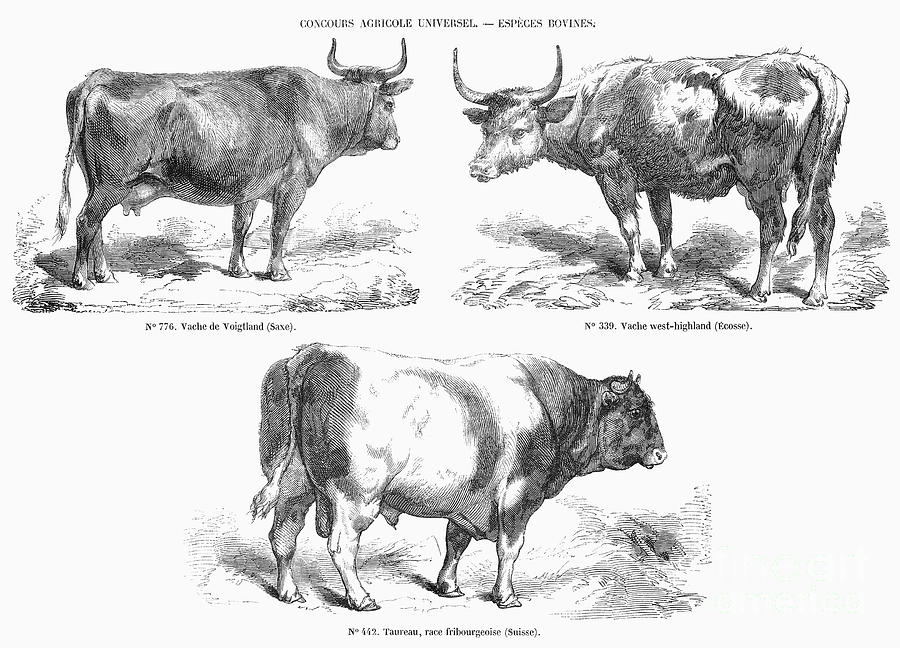 1856 Photograph - Cattle Breeds, 1856 by Granger