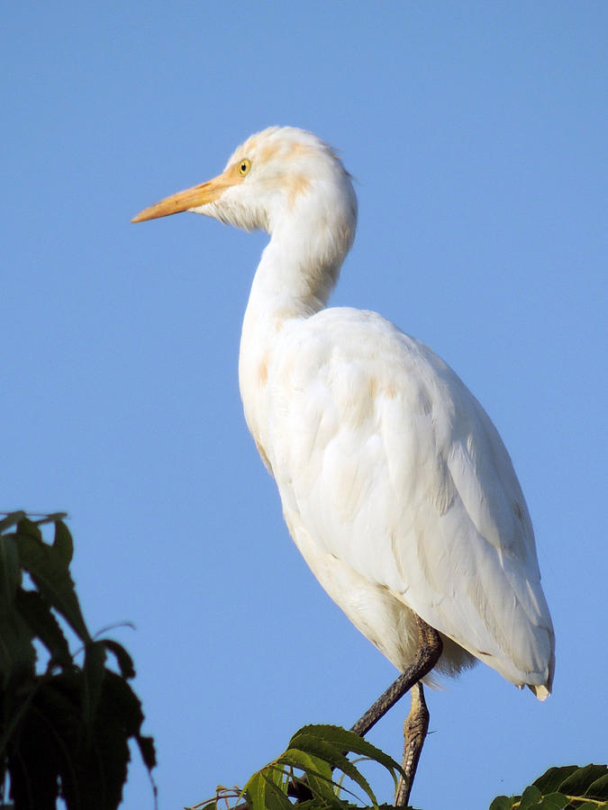 Cattle Egret On Top Of The Tree Pyrography - Cattle Egret On Top Of The Tree by Ramesh Chand