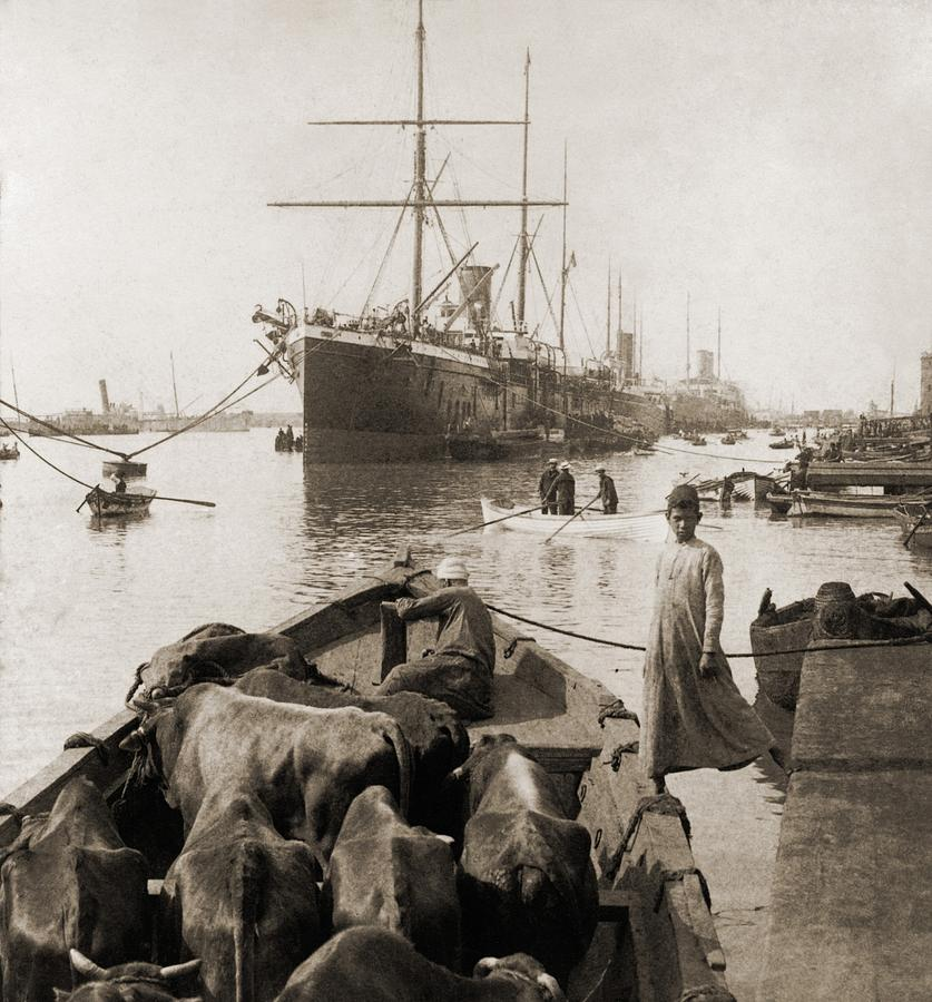 History Photograph - Cattle In A Small Boat Destined by Everett