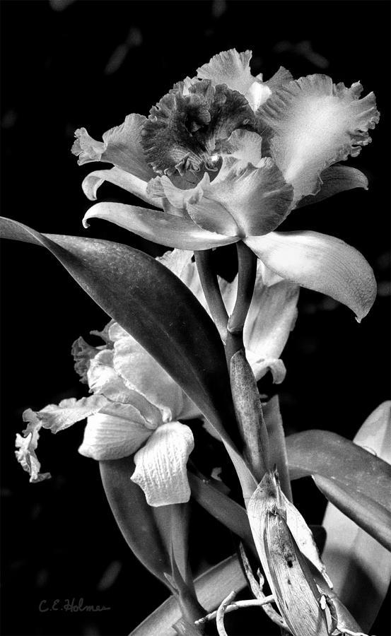 Cattleya Photograph - Cattleya - Bw by Christopher Holmes