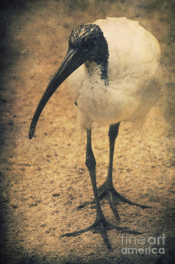 Ibis Photograph - Catwalk by Angela Doelling AD DESIGN Photo and PhotoArt