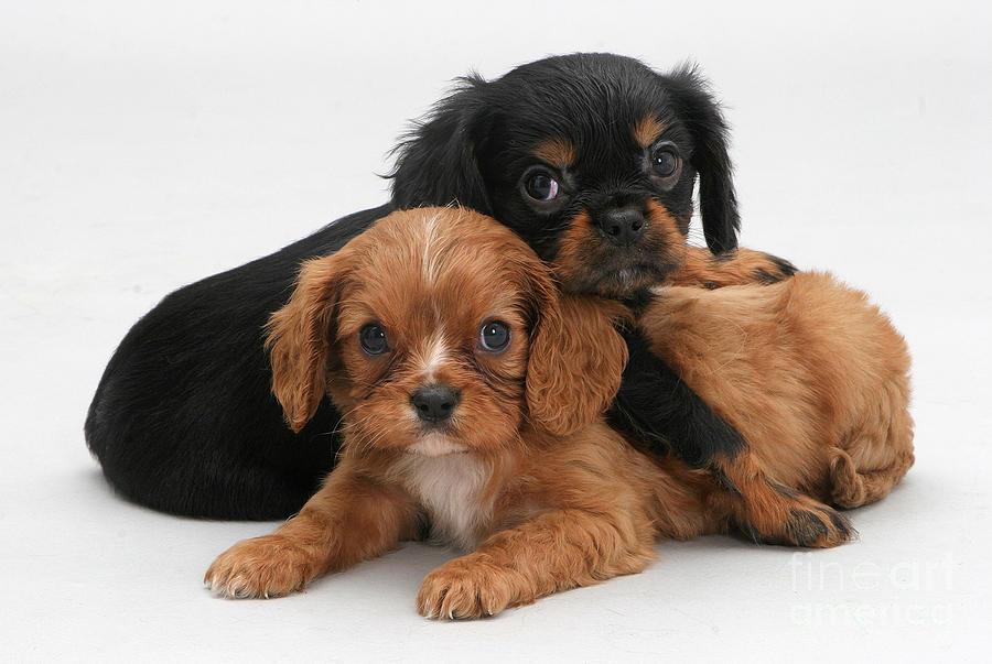 Animal Photograph - Cavalier King Charles Spaniel Puppies by Jane Burton